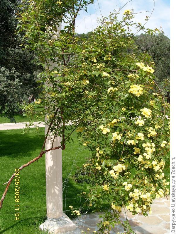 Плетистая роза на перлоге
