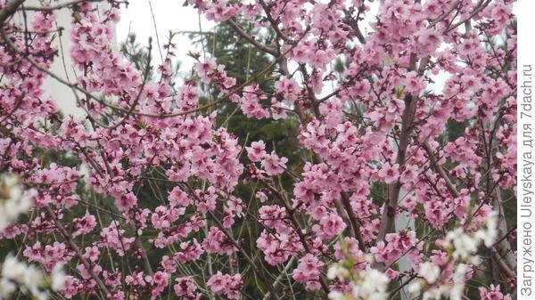 Цветет персико-миндаль Рябова