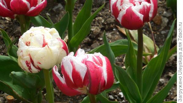 Тюльпан сорт Zizanie