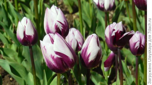 Тюльпан сорт Vlam