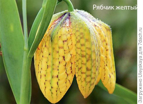 Рябчик желтый. Фото сайта www.supersadovnik.ru