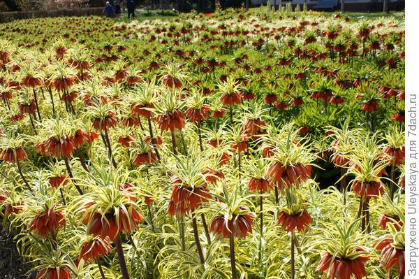 Рябчик императорский Aureomarginata. Фото сайта www.flickr.com