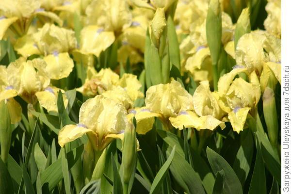 Цветет ирис бородатый карликовый сорт Galleon Gold