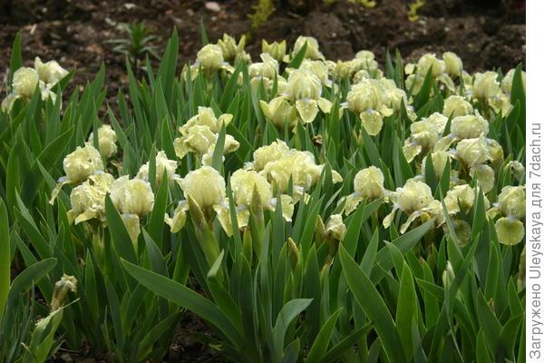 Цветет ирис бородатый карликовый сорт Iris Seas