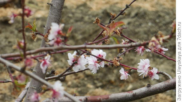 Раноцветущий персик в конце цветения 22 апреля этого года