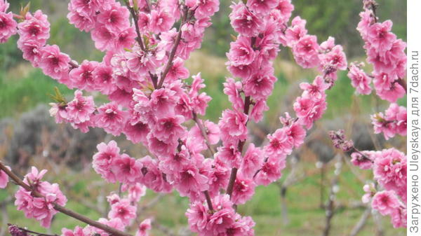 Цветет декоративный персик, сорт Ассоль