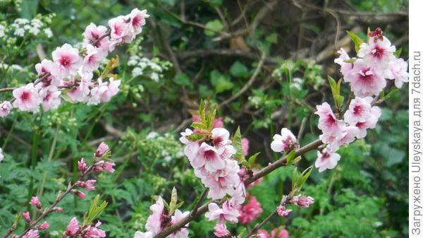 Цветет декоративный персик сорт Ave Maria