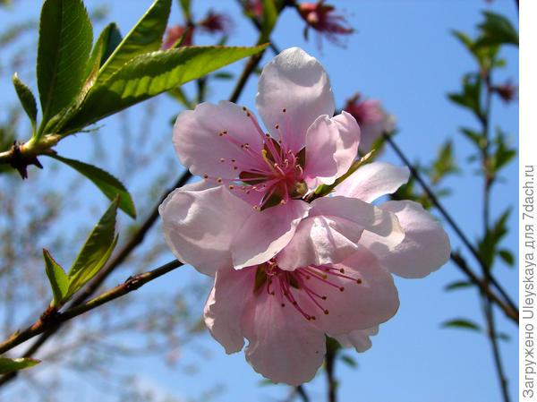 Персик Давида – самый раннецветущий персик, фото сайта commons.wikimedia.org