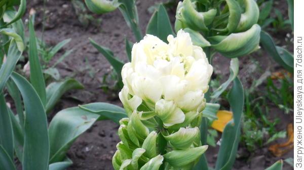 Цветение тюльпана сорт Brooklyn