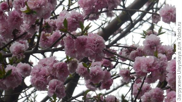 Декоративный персик с помпонными цветками