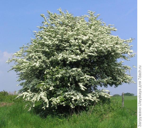 Боярышник однопестичный, фото сайта www.chewvalleytrees.co.uk