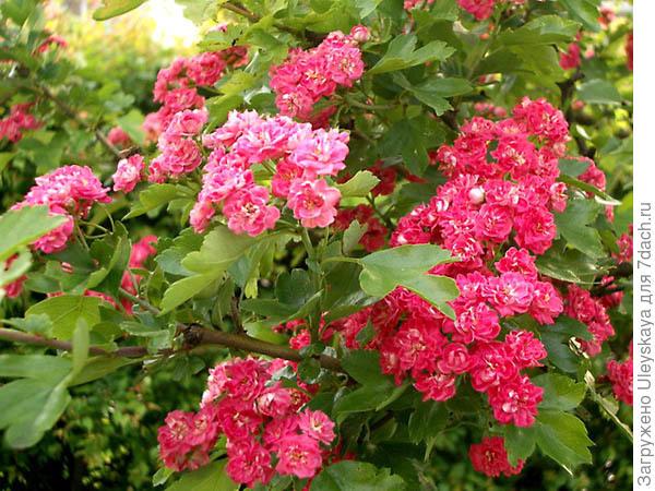Боярышник колючий Crimson Cloud, фото сайта www.seemnemaailm.ee