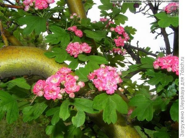 Боярышник колючий Rosea, фото сайта agaclar.net