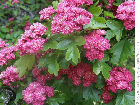 Боярышник колючий Paul's Scarlet, фото сайта www.dereilanatureinn.ca