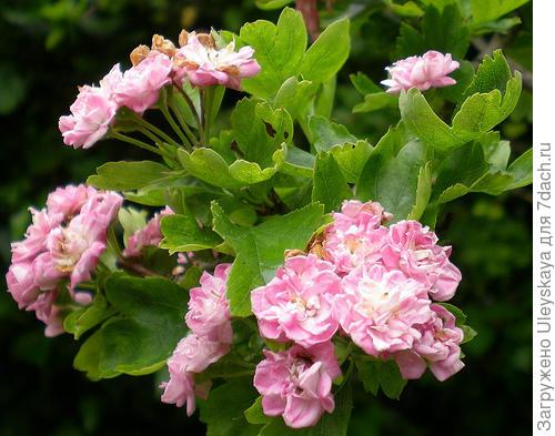 Боярышник однопестичный, фото сайта www.flickr.com