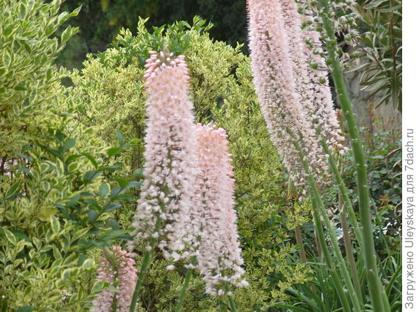 Эремурусы на солнечных участках цветут роскошно