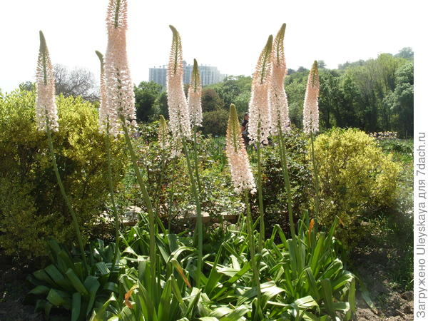 Цветут эремурусы