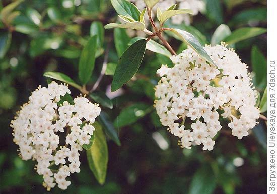 Калина полезная, фото сайта www.asianflora.com