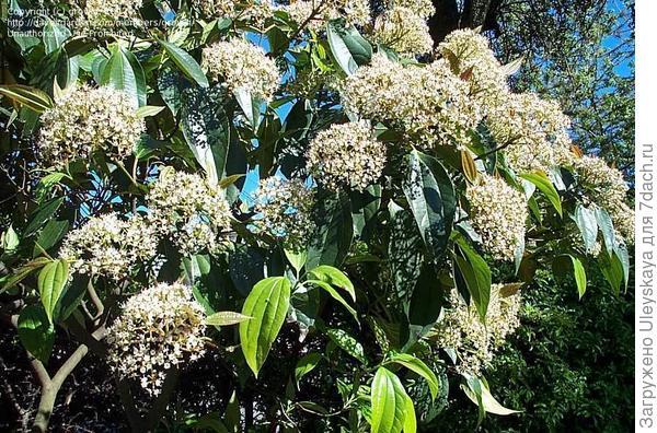 Калина коричниковолистная, фото сайта davesgarden.com