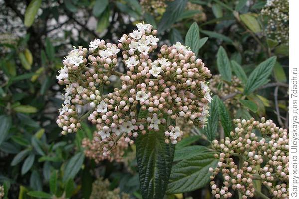 Калина морщинистолистная, фото сайта flower.onego.ru