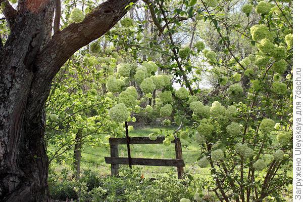 Калина в саду, фото сайта petalsinprose.blogspot.com