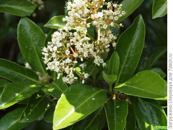 Калина авабуки, фото сайта www.atouchofgreen-gardenwebshop.nl