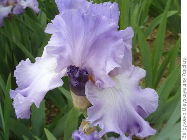 Ирис бородатый сорт Fragrant Lilac
