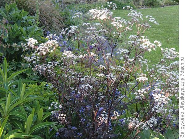 Купырь лесной Ravenswing, фото сайта plantaliscious.janetbruten.co.uk