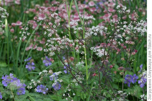 Купырь в саду, фото сайта www.waitrosegarden.com