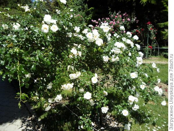 Почвопокровная роза сорт Ахтиар на штамбе
