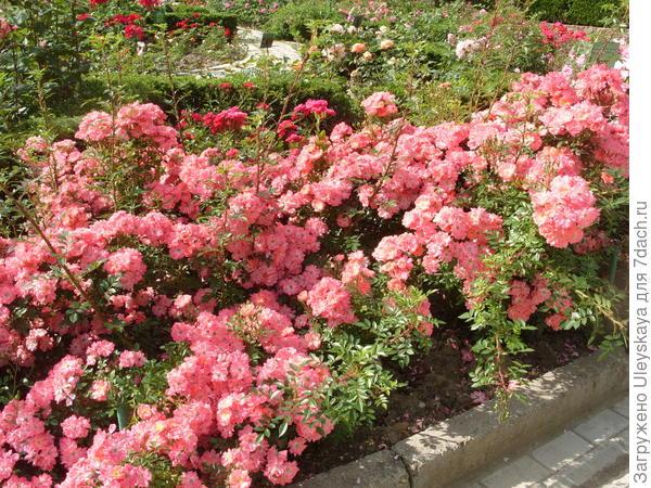 Цветочный бордюр из почвопокровной розы сорт Ferdy