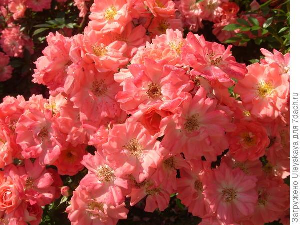 Роскошное цветение почвопокровной розы сорт Ferdy
