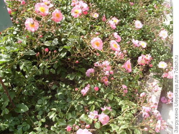 Почвопокровная роза сорт Fleurette в групповой посадке