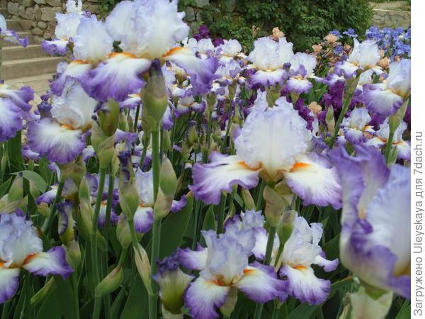 Цветет ирис сорт Conjuration