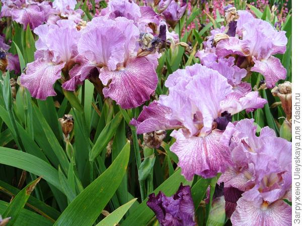 Цветет ирис сорт Scip Along