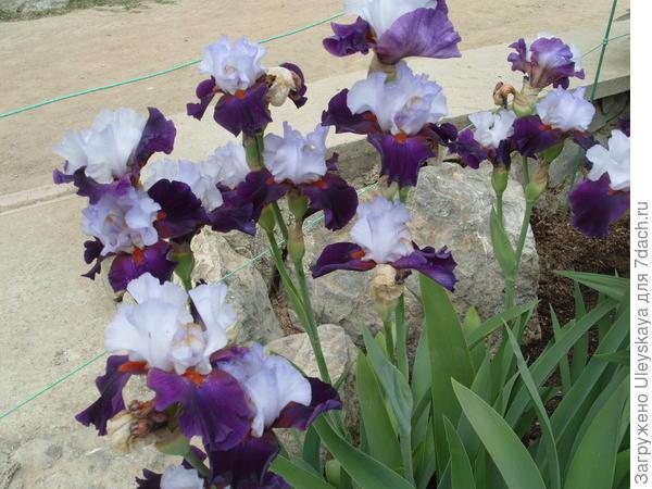 Цветет ирис сорт Teamwork