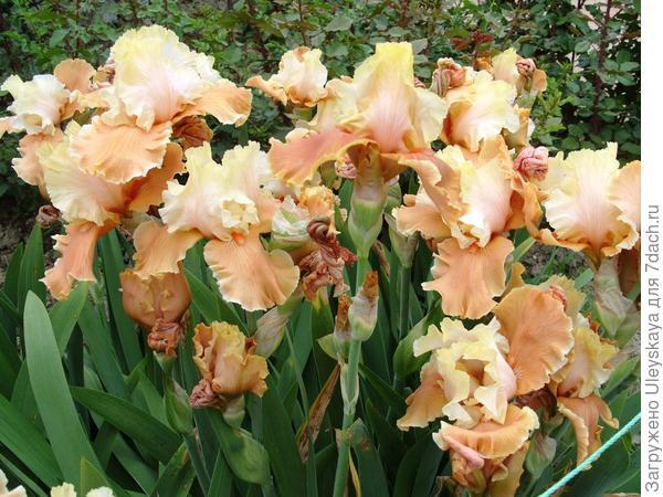 Цветет ирис сорт English Charm