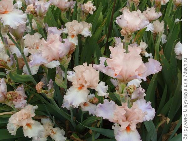 Цветет ирис сорт Celebration Song