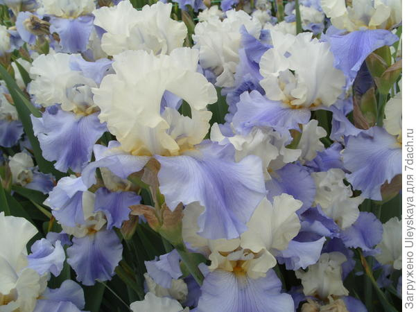 Цветет ирис сорт Stairway to Heaven