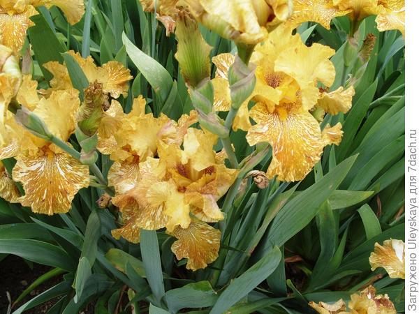Цветет ирис сорт Tiger Honey