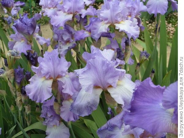 Цветет ирис сорт Мрия
