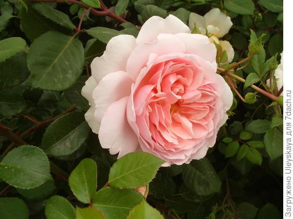 Романтическая роза сорт Wildeve
