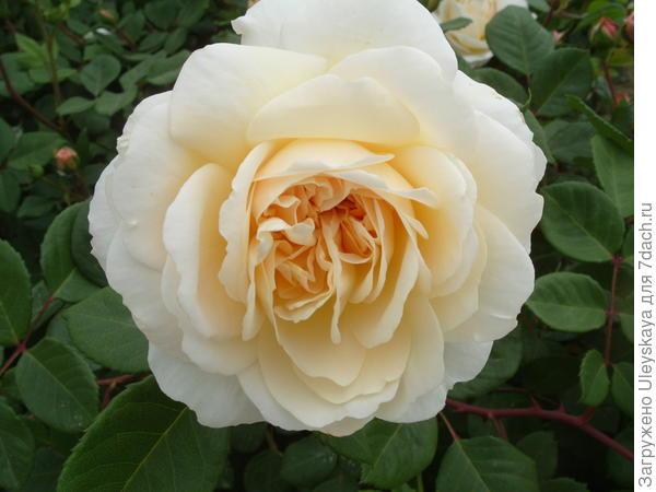 Романтическая роза сорт Crocus Rose