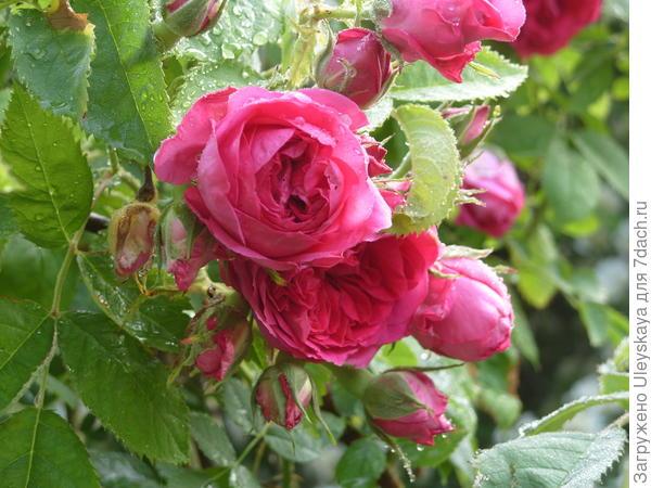Романтическая роза сорт Каховка