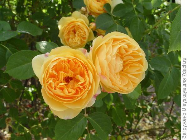Романтическая роза сорт Graham Thomas
