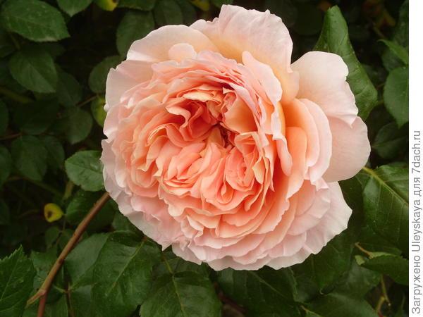 Цветок романтической розы с квадратированным центром