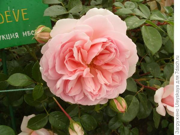 Квадратированный центр розы сорт Wildeve