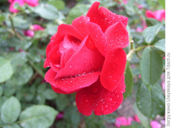 Чайно-гибридная роза сорт Аю-Даг