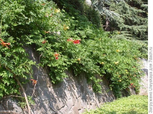 Кампсис укореняющийся на стене