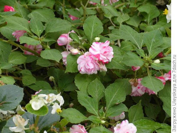 Бальзамин Уоллера с махровыми цветками